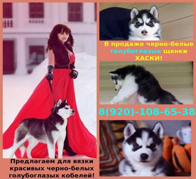 Продам Щеночки сибирской хаски