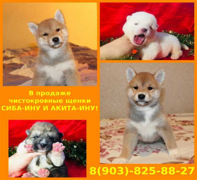 Продам Акита-ину и сиба-ину чистокровные щенки