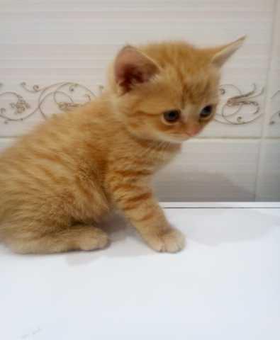 Продам котенок шотландский