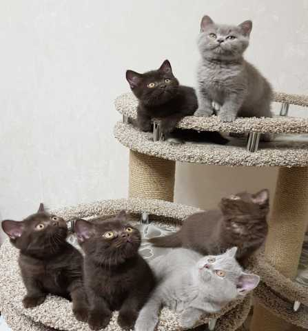 Продам: Британские кш котята