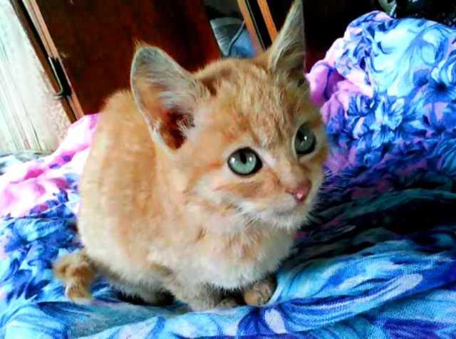 Отдам даром Котята рыжий котик и черепаховая кошечка