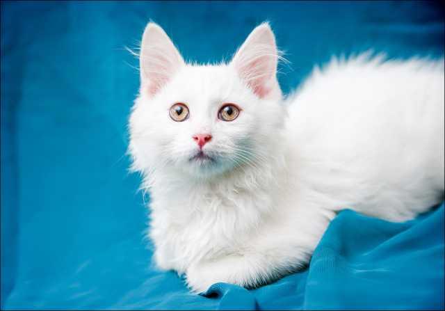 Отдам даром Белая малышка Снежинка, котенок 3 мес