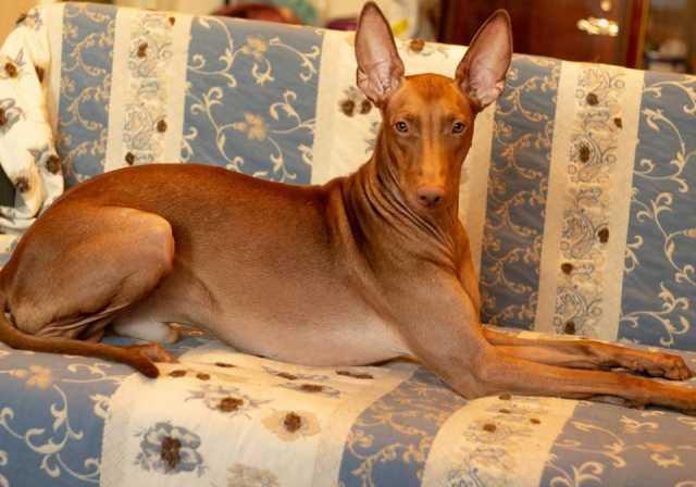 Продам: Фараонова собака щенки