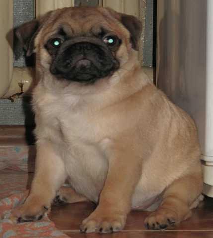 Продам Мопс щенок