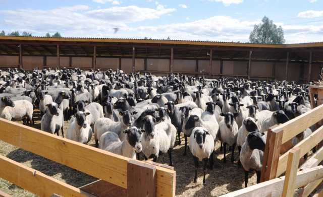 Продам Племенные ярки (овцы) романовской породы