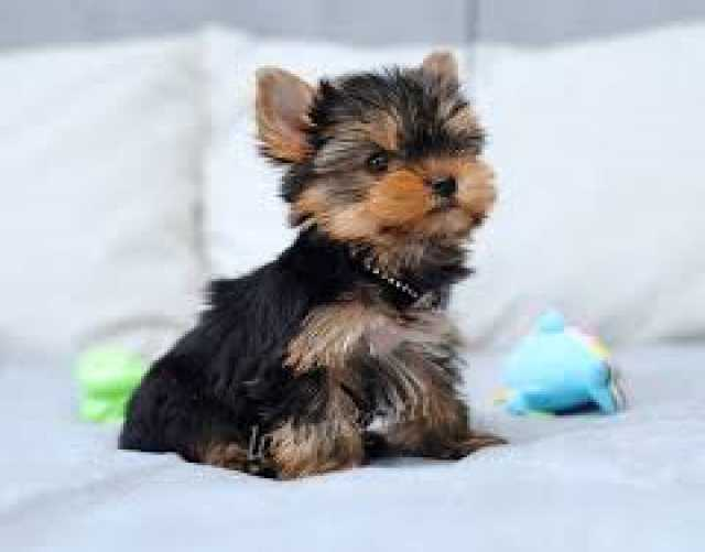 Предложение: отдам даром щенка йоркширский терьер мал