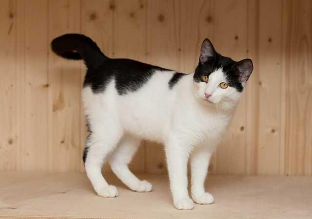 Продам Ласковый крупный котик Бантик в поисках