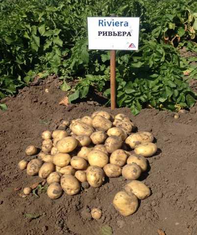 Продам Семенной картофель Ривьера.