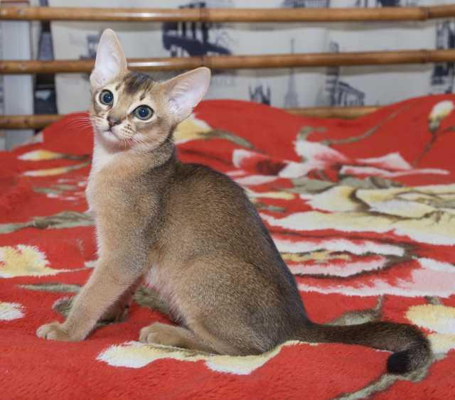 Продам: Элитные абиссинские котята