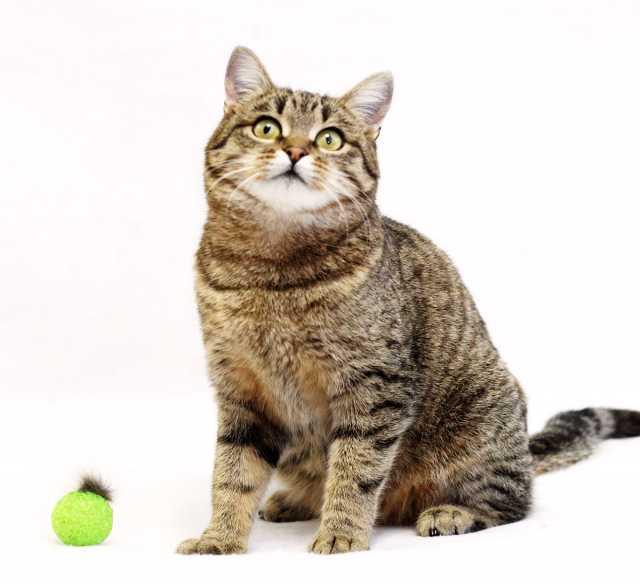 Отдам даром Челита, веселая юная кошка-полосатка, 1г