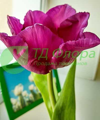 Продам Тюльпаны