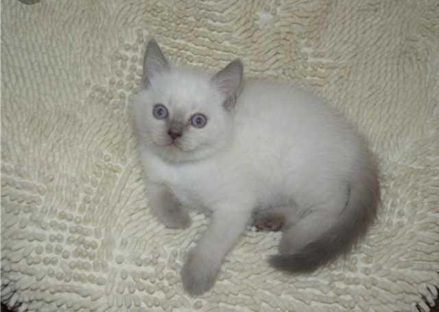 Продам Продам шотландского котенка