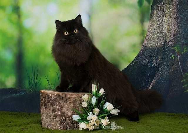 Продам Молодой племенной шотландский черный кот