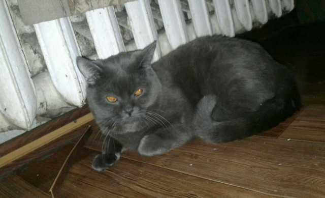 Предложение: Шотландский прямоухий кот ждет подругу