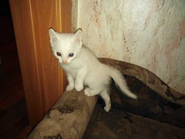 Отдам даром Белый котонок