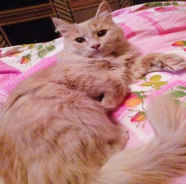 Отдам даром Кошка - малышка и котик - пушистик в дар