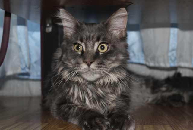 Предложение: Кот мейн-кун приглашает на вязку