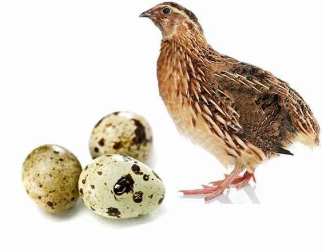 Продам Мясо перепелов, яйца перепелиные