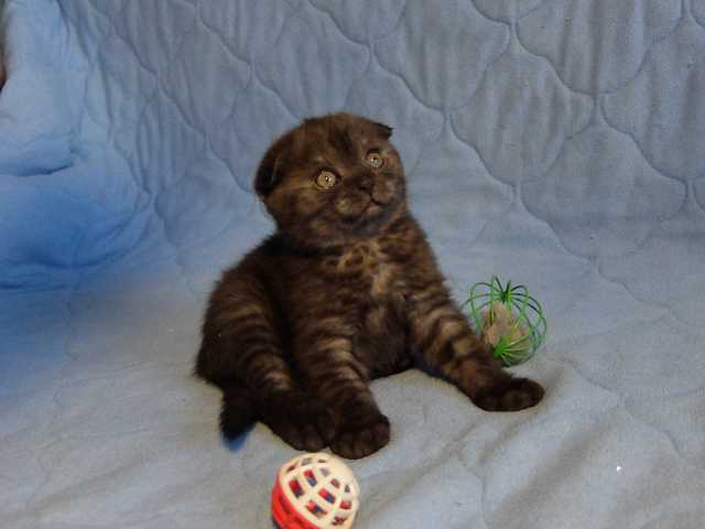 Продам Клубный вислоухий котёнок