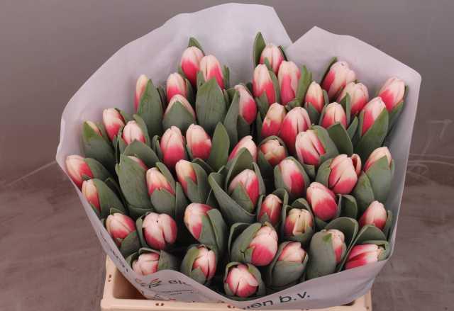 Продам Красно-белый тюльпан Пролайн из Нидерлан