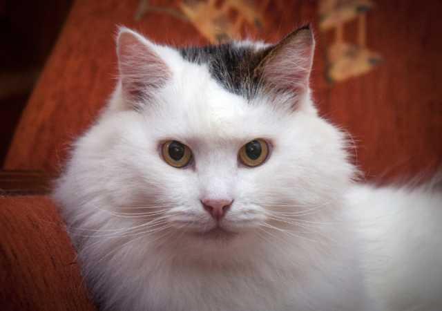Отдам даром Ласковый пушистый белый кот Антоша