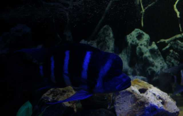"Продам Cyphotilapia frontosa ""blue Zair ""Moba"""