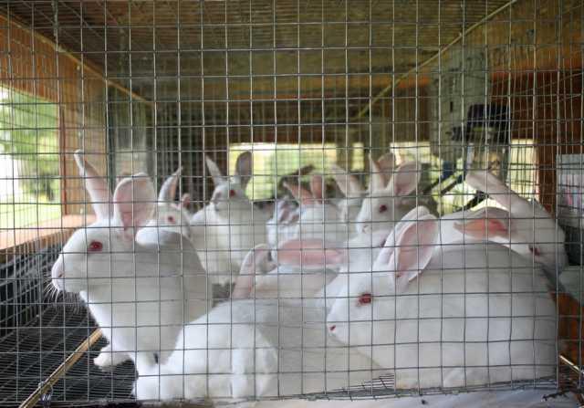 Куплю Кролики на убой