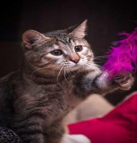Отдам даром Молодая кошечка Кнопка в добрые руки.