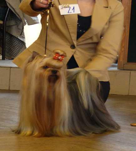 Продам Йоркширского терьера щенки .с доставкой