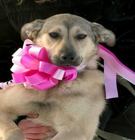 Отдам даром Пристраиваются в хорошие руки щенки