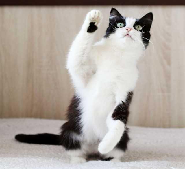 Отдам даром Бонита, кошка-милашка с изюминкой, 5 лет