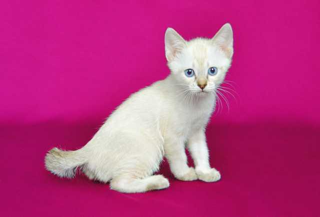 Продам эксклюзивного котенка Меконгский бобтейл