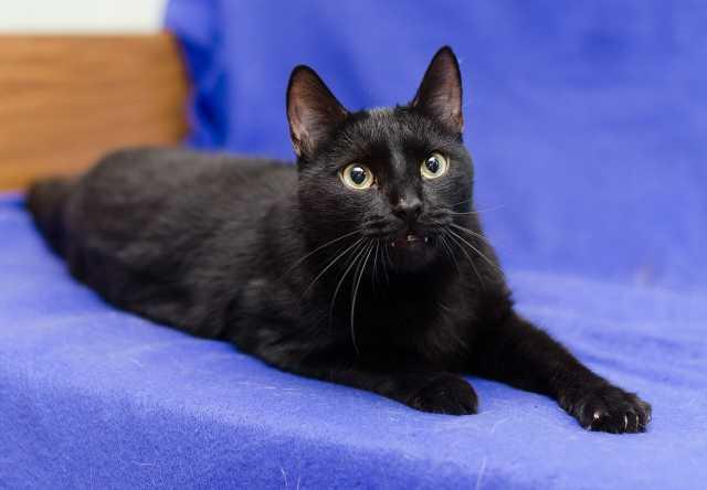Отдам даром Черный котик Семен - источник радости!