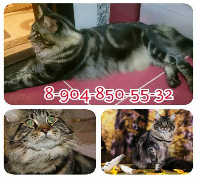 Предложение: Вязка с шикарным котом Мейн Кун