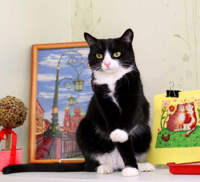 Отдам даром Гавана, кошка-миниатюра, 5 лет