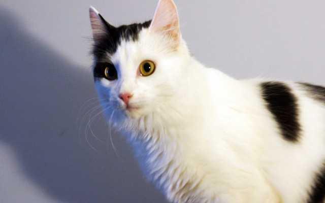 Отдам даром Красивая пушистая кошка-подросток необыч