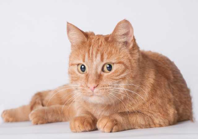 Отдам даром Рыжая-рыжая кошка Рокси!