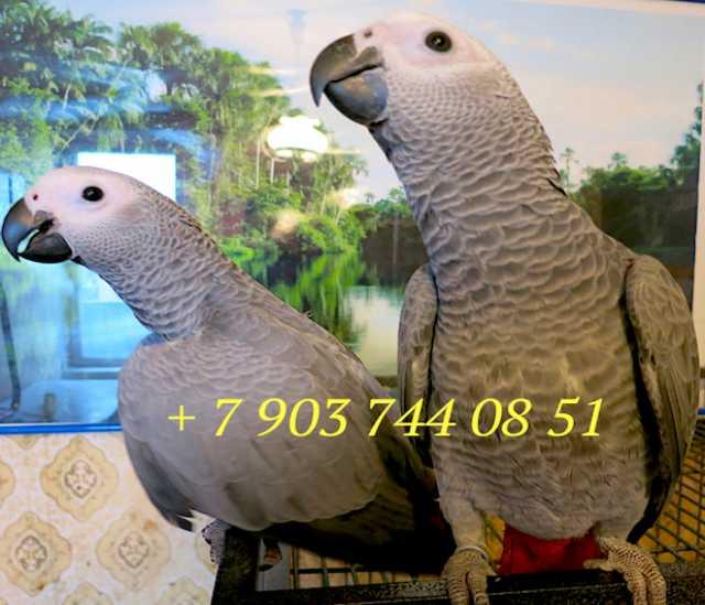 Продам Жако - ручные птенцы