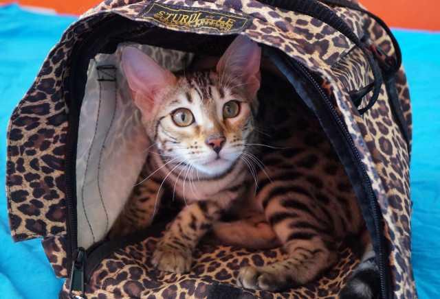 Продам: Бенгальские котята в Магадане