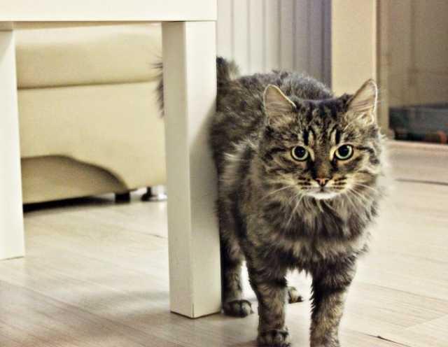 Отдам даром Молодой котик-сибиряк