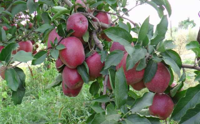 Продам Оптовая продажа яблок со склада в Казахс