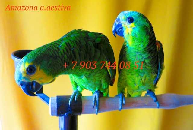 Продам Амазоны - ручные птенцы