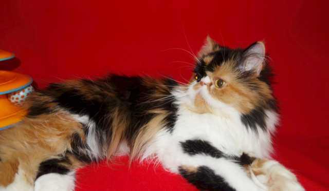 Продам Персидская кошка,экстремальная черепашка