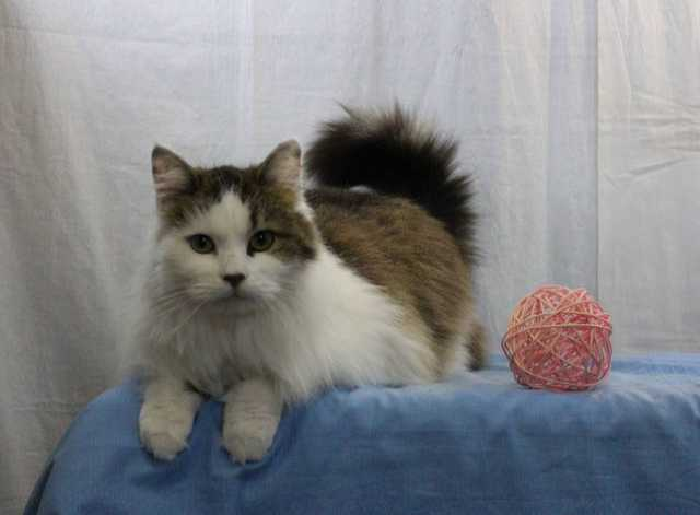 Отдам даром Глебушек — шикарный кот -подушка