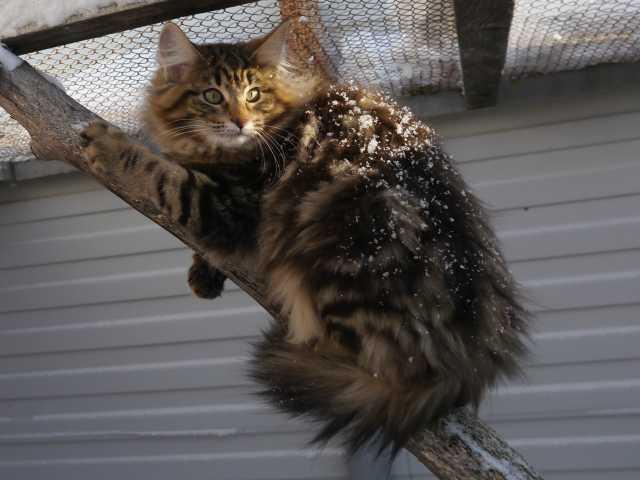 Продам Котята породы Норвежская Лесная