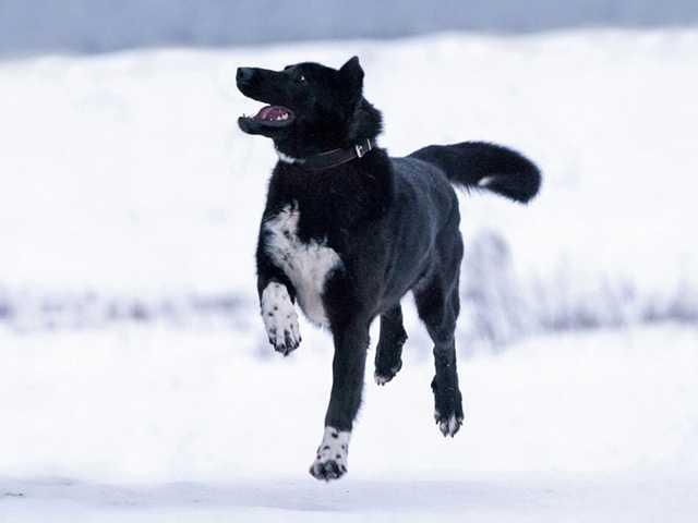 Отдам даром Рэмбо, крупный, очень добрый пес в дар