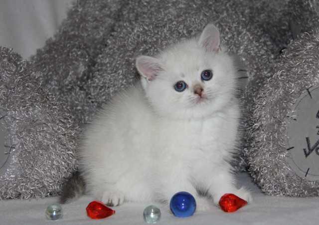 Продам: Клубные британские котята редких окрасов
