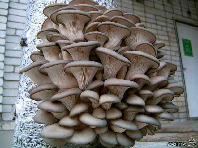Продам Мицелий гриба вешенка и готовые блоки