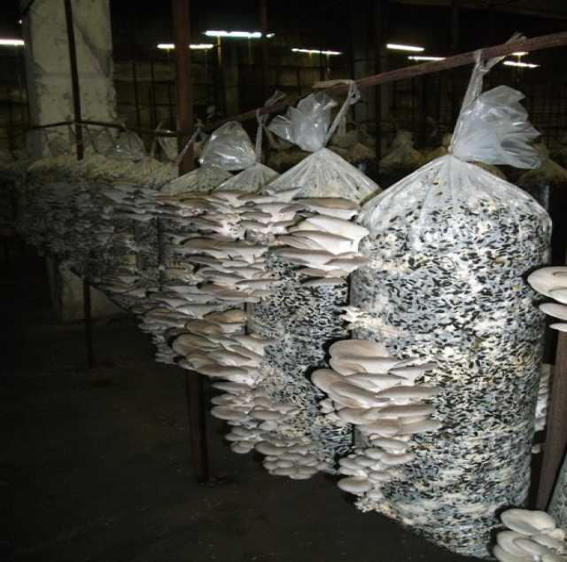 Продам: мицелии гриба вёшанка---готовые блоки