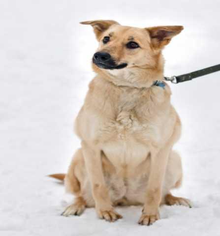 Отдам даром Солнечная собака Марфа ищет дом!
